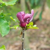 Magnolia Flower On The Treetop