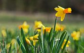 Picture Of Daffodils