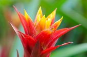 stock photo of bromeliad  - Nice red leafy bromeliad plant  , red pineapple flower ** Note: Soft Focus at 100%, best at smaller sizes - JPG