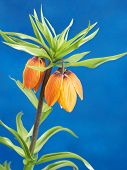 Crown imperial shot on blue background