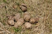 A Heap Of Asia Elephant Dung
