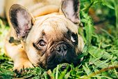 foto of bulldog  - Dog French Bulldog lying on the grass - JPG