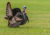 foto of gobbler  - Wild turkey strutting for a mate in the spring mating season - JPG