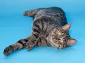 image of yellow tabby  - Tabby cat with yellow eyes lying on blue background - JPG