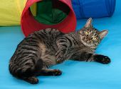 foto of yellow tabby  - Tabby cat with yellow eyes lying on blue background - JPG