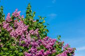 foto of lilac bush  - Bunch of violet lilac flower in sunny spring day in front of blue sky - JPG