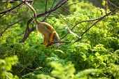 Funny young  squirrel monkey on  tree looking down