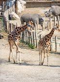 Pair of Baringo giraffe (Giraffe Camelopardalis rothschildi)