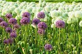 Floral Background Allium Flowers