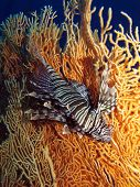 Lionfish and gorgonian
