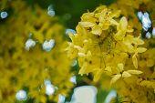 Golden Shower Flower