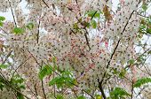 picture of cassia  - Pink cassia bakeriana flower blooming on tree - JPG