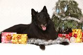 Amazing Groenendeal Dog With Christmas Decorations