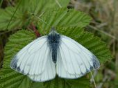Green Veined White Butterfly (female)