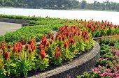 Celosia Flower (celosia Argentea)
