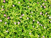 Leafy ground cover