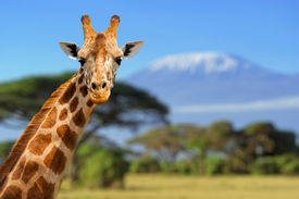 stock photo of herbivore animal  - Giraffe in front of Kilimanjaro mountain  - JPG