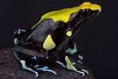 Dyeing dart frog / Dendrobates tinctorius