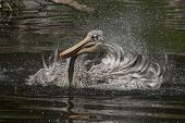 Small Pelican In Bath