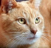 Ginger domestic cat portrait. Animal at home.