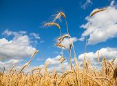 Golden Wheat Field With Blue Sky And Clouds In Background.