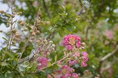 picture of crepe myrtle  - Close - JPG
