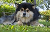 Finnish Lapphund rests in a garden.