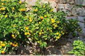 picture of tangerine-tree  - tangerine trees against the backdrop of a stone wall - JPG
