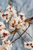 Bee On Apricot Blossoms