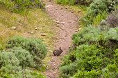 foto of wild-rabbit  - Cute brush rabbit on a trail in Marin Headlands Park California - JPG