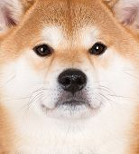 shiba inu dog close up portrait