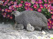 Francolin pheasant with chicks