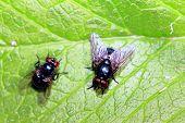 two green flies