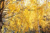 Beautiful Autumn Background, Abstract Yellow Foliage Tree
