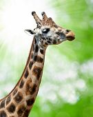 Portrait of a giraffe on green blurry background