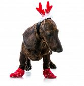 Dachshund in Santa costume on a white background isolated