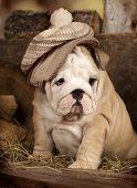 english bulldog puppy knitted hat