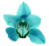 Blue tropical orchid flower isolated on white