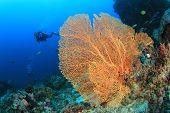 Fan Coral and Scuba Diver