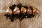 Flower bulbs and soil on fabric background