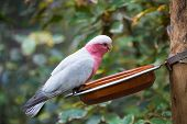 foto of cockatoos  - Galah cockatoo eats the grain of the plate - JPG