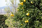 stock photo of satsuma  - Japanese orange hanging on tree in Kawazu  - JPG
