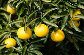 pic of satsuma  - Japanese orange hanging on tree in Kawazu ,Japan
