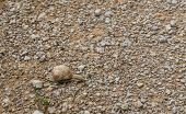 stock photo of mollusca  - Land snail gliding across a pebble surface - JPG