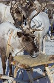 picture of deer horn  - deer with horns resting near sleds on the background of the flock - JPG