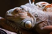 pic of giant lizard  - Portrait of a lizard close up in zoo - JPG