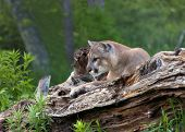 picture of mountain lion  - Adult male mountain lion rests on a log  - JPG