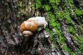 image of grown up  - Land snail on the moss - JPG