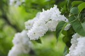 picture of lilac bush  - Branch of white lilac flowers with the leaves - JPG