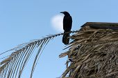 image of raven  - A Raven like bird sits on a perch as the moon rises in the sky - JPG